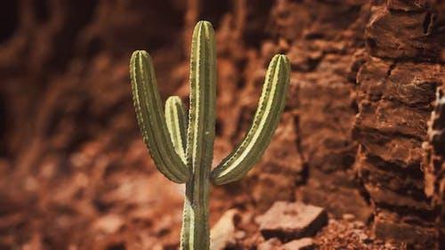 Cactus in the Arizona Desert Near Red Rock Stones