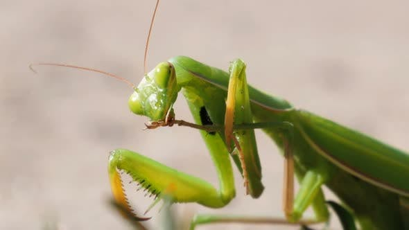 Thumbnail for The Insect Green Mantis Sits on the Sand and Cleans Its Paws