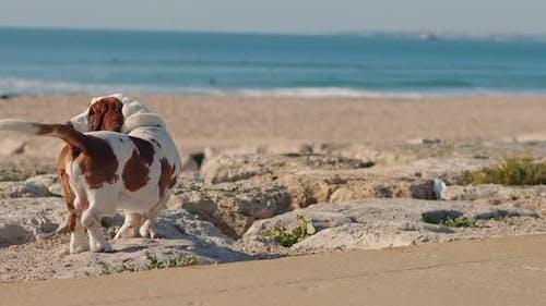 Basset hound dog standing on the beach rocks near the Atlantic Ocean.