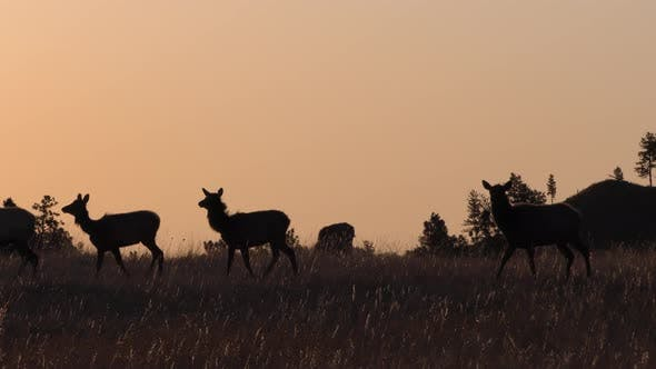 Thumbnail for Elk Bull Cow Adult Herd Many Walking Moving in Spring Sunrise Morning Silhouette Profile