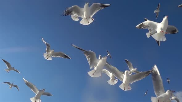 Thumbnail for Flock Of Seagulls Birds Flying In The Blue Sky 1