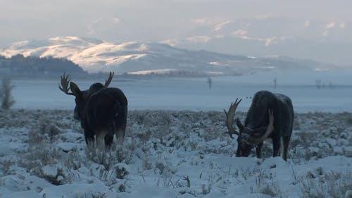 Moose Bull Adult Pair Eating Feeding in Winter Dawn Morning in Grand Teton National Park Wyoming