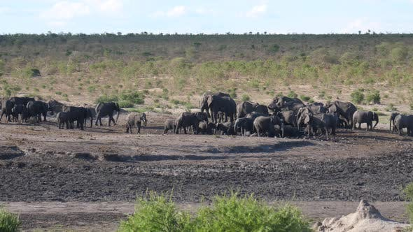 A new herd of African Bush elephants arriving at the waterhole