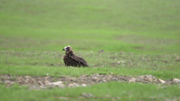 Thumbnail for A Free Wild Vulture Walking in Green Grassland