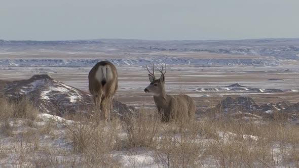 Mule Deer Buck Doe Adult Pair in Winter in South Dakota