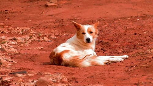 African dog lying in the dirt looking around.