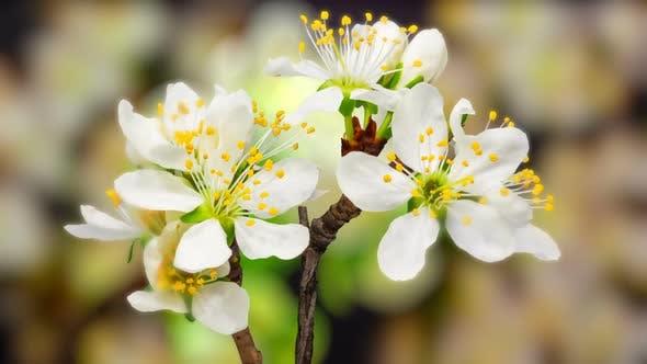 Thumbnail for Plum Flower Blossoming