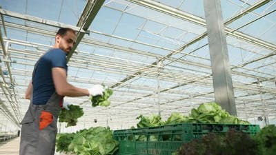 Farmer in a Greenhouse with Modern Technology Harvesting