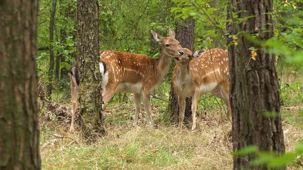 Thumbnail for A Group of Roe Deers in a Forest