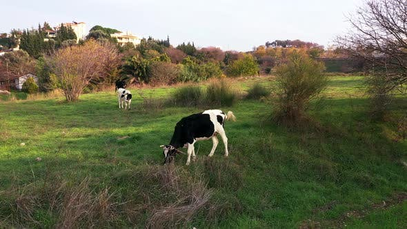 Thumbnail for Black And White Cow Grazing In The Meadow 4