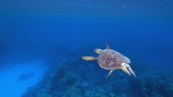 Thumbnail for Hawksbill Sea Turtle