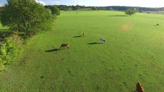 Thumbnail for Aerial view of cornfield and meadows with cows