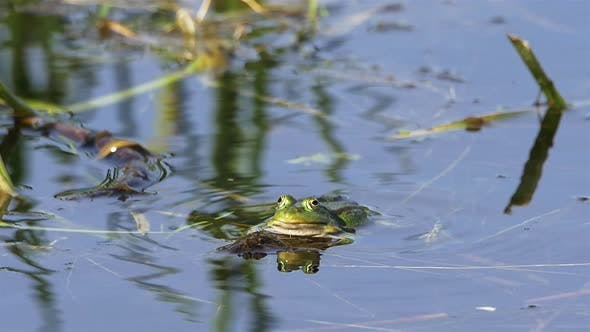 Thumbnail for Frog in Water