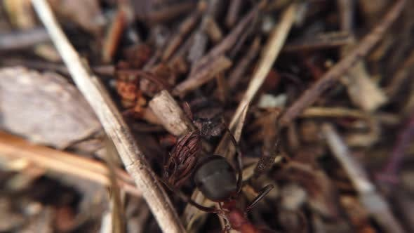 Thumbnail for Big Red Ants Are Crawling on the Anthill