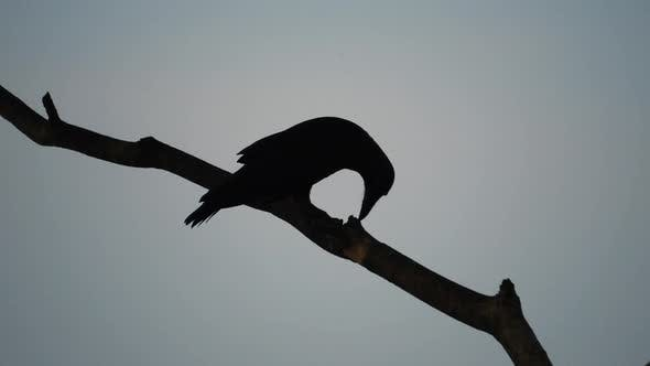 Silhouette of crow on tree branch