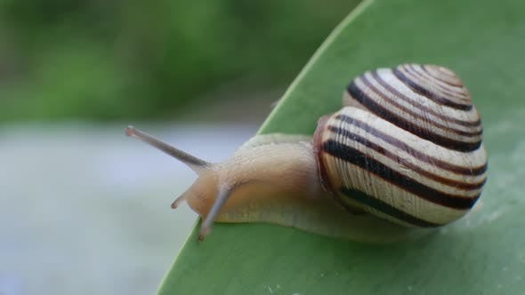 Thumbnail for Little Snail Crawling on Green Leaf