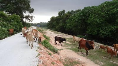 Cow on the kampung road.