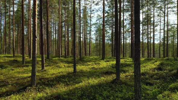 Thumbnail for Forest in Finland