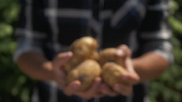 Thumbnail for Farmer Holding in Hands the Harvest of Potatoes in the Garden. Organic Vegetables. Farming.