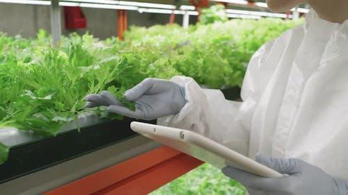 Greenhouse Expert Examining Lettuce Leaves