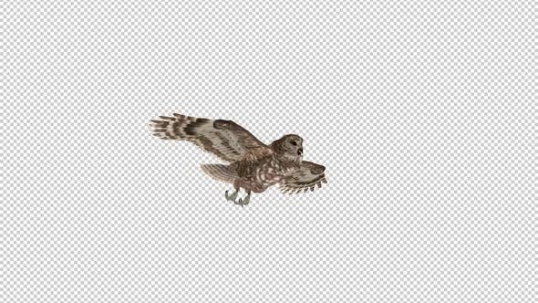 Owl - Spotted - Flying Loop - Side View