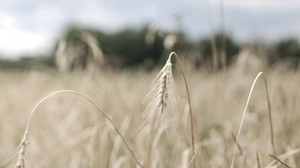 Cover Image for Organic Ripe Spikelets of Rye in the Field