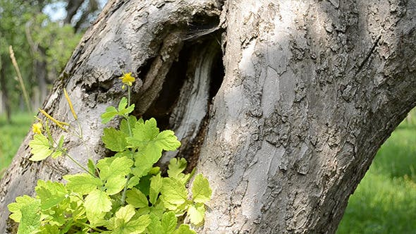Thumbnail for Large Hollow of a Tree