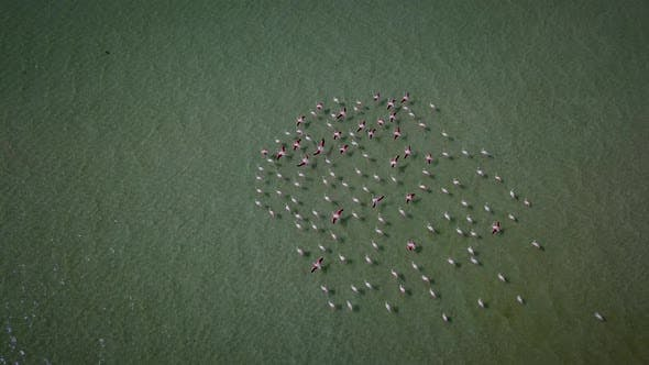 Thumbnail for Aerial view of flamingos in West Coast National park, Cape Town, South Africa.