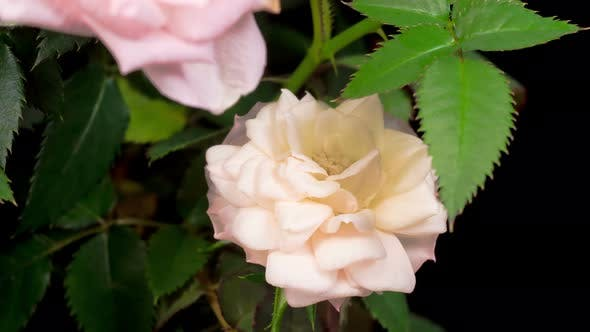 Thumbnail for Time Lapse of Opening White Rose Flower