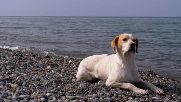 Thumbnail for Stray Dog Lies on a Stone Shore of the Sea, Hungry, Wild and Unhappy Homeless Dog