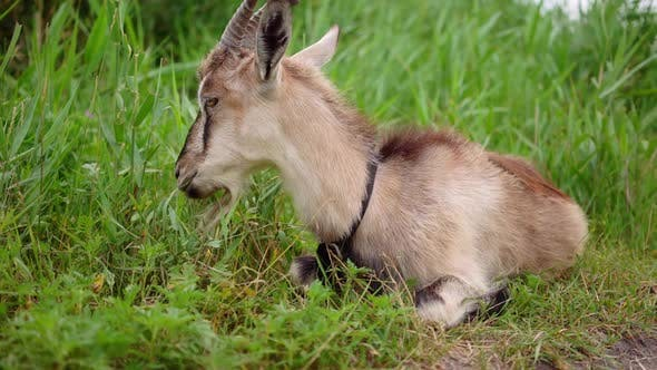 Thumbnail for Domestic Smoke Goat Grazing in Green Grass.