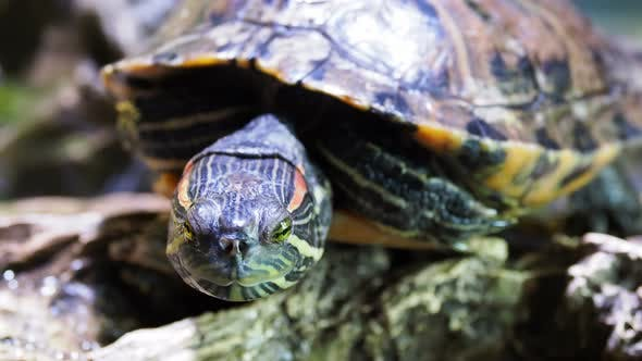 Thumbnail for Pond Slider, Trachemys Scripta, Common Medium-sized Semi-aquatic Turtle. Red-eared Turtles.