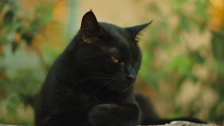 Thumbnail for Black cat with yellow eyes getting sleepy, nature green, slow motion