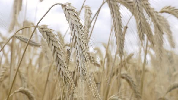 Thumbnail for Field Barley in Period Harvest