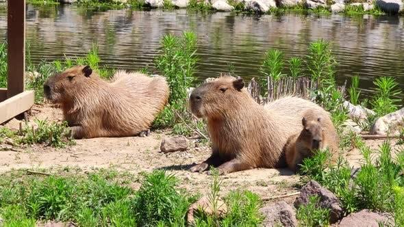 Capybara Family Resting
