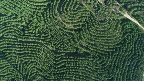 Thumbnail for Aerial Top View of Orange Tree Groves on Hills