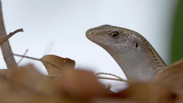 Cover Image for Lizard Eye