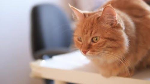 Wütende Ingwerkatze sitzt auf weißem Tisch. Fluffy Pet scheint irritiert zu sein. Nettes Haustier in Cozy