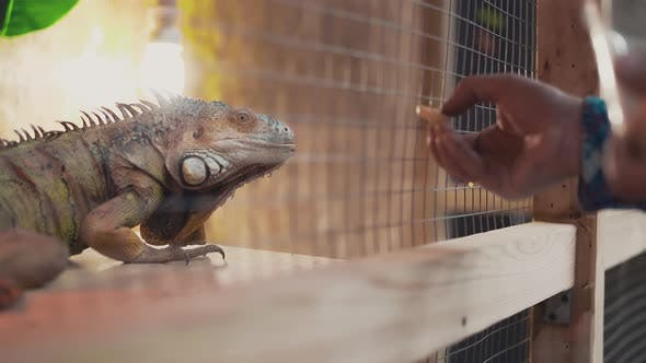 Somebody Feeds a Big Lizard Iguana From the Hand
