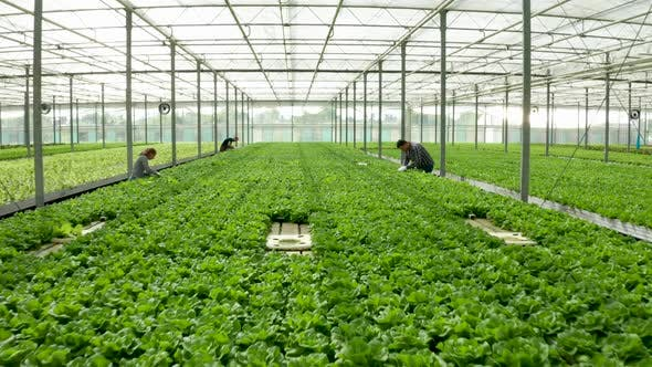 Cover Image for Aerial View of Farmers Working in a Greenhouse