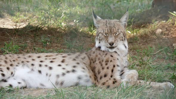 Thumbnail for Cheery Spotted Lynx Lying and Shaking Its Head with a Smiling Face in a Zoo