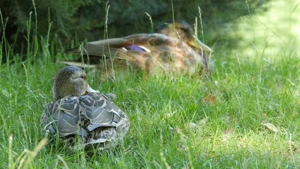 Enten liegen auf grünem Gras