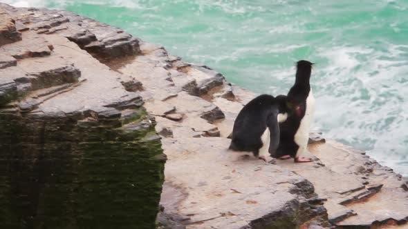 Thumbnail for Rockhopper Penguin Falkland Islands