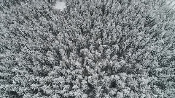 Cover Image for Winterland, Fly Over Fir Tree in the Snowstorm. Cold, Carpatian.