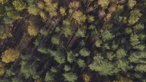 Thumbnail for Forest Trees From Above. Autumn Fall Sunny Season