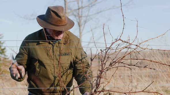 Thumbnail for Farmer Pruning Grapes in Late Winter or Early Spring Season