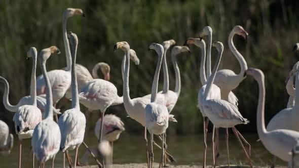 Thumbnail for Flamingo bird nature wildlife reserve carmargue lagoon