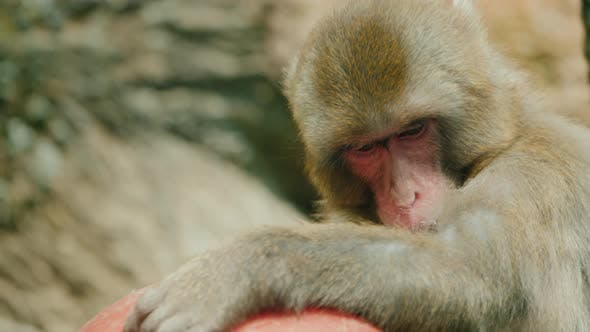 Thumbnail for Portrait of a Funny Japanese Macaque with a Toy