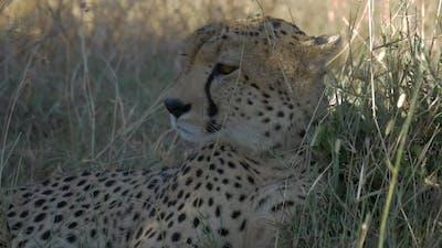 Close up shot of a cheetah