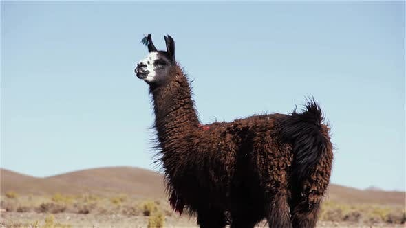 Thumbnail for Llama in the Altiplano, South America.